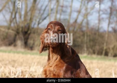Irish Red Setter Hund / Red Setter Erwachsenen Porträt - Stockfoto