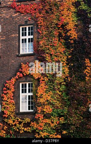 Bunte Efeu Herbst Twist rund um die Fenster auf der Mauer Stockfoto