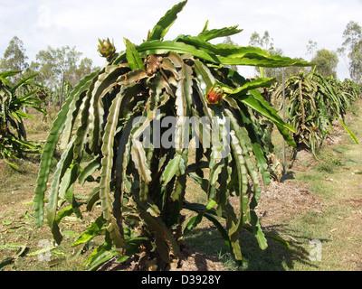 kakteen pflanzen hylocereus art drachenfrucht pitaya ungew hnliche tropische fr chte. Black Bedroom Furniture Sets. Home Design Ideas