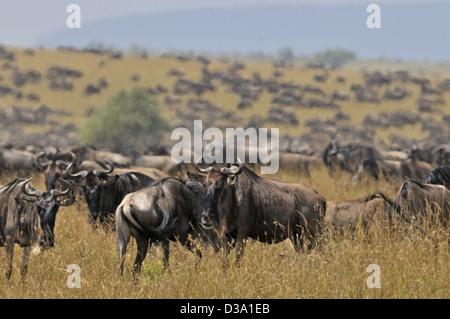 Gnus (oder Gnus, Gnus oder Wildebai, Gnu) Herden in Masai Mara, Kenia, Afrika - Stockfoto