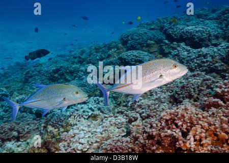 Ein paar von Bluefin Makrelen oder Jack, Caranx Melampygus, Dart über das Riff auf Molokini Insel Maui, Hawaii. - Stockfoto