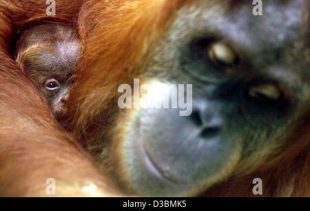 """(Dpa) - Orang-Utan Mutter """"Sirih"""" mit ihrem Baby """"Jahe"""" im Frankfurter Zoo, Deutschland, 15. Mai 2003 abgebildet - Stockfoto"""