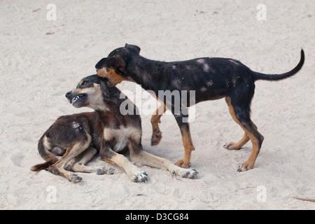"""Inländische Dorf """"Busch"""" Hunde (Canis Lupus Familiaris). Halb-wilde gut gewachsene Welpen im spielen. In Hautveränderungen - Stockfoto"""