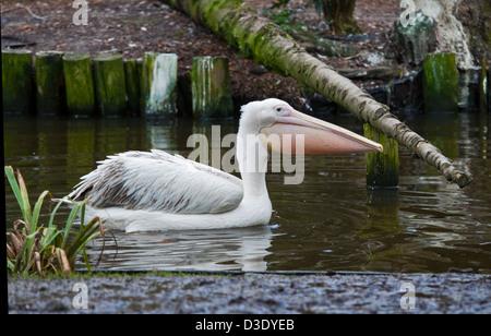 Großer weißer Pelikan (Pelecanus Onocrotalus) - Stockfoto