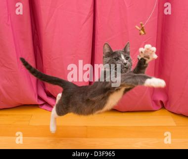 Junge vier Monate alten grauen und weißen Smoking Katze spielen, springen, um Spielzeug zu erreichen - Stockfoto