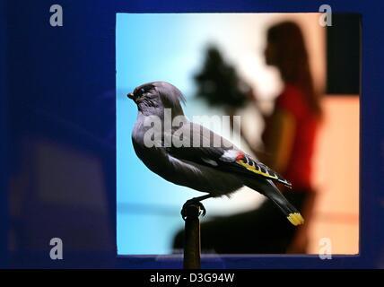 (Dpa) - das Foto zeigt einen Vogel böhmischen Seidenschwanz (Bombycilla Garrulus) in ein Schaufenster, das vor der - Stockfoto