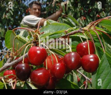 (Dpa) - deutsche Bauer Sascha Guthsmuethel holt Kirschen am Obstgarten der Familie in der Nähe von Frauenstein, - Stockfoto