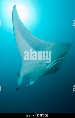 Manta Ray, Ari und Male Atoll, Malediven. - Stockfoto