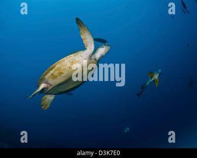 Meeresschildkröte und Fledermausfische, Great Barrier Reef, Queensland, Australien. - Stockfoto