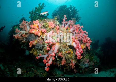 Bunten Riff-Szene mit massiven rosa und weiße weiche Koralle, gelb Crinoid, grüne Koralle, Komodo, Indonesien. - Stockfoto
