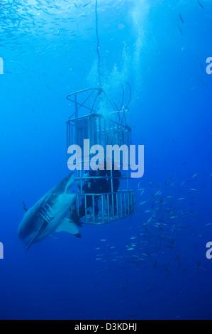 Weiblichen weißen Hai und Taucher, Insel Guadalupe, Mexiko. - Stockfoto