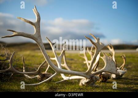 Rentier Geweih in Nordkap Norwegen - Stockfoto