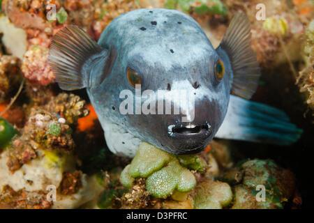 Dieses schwarz gefleckten Kugelfisch, Arothron Nigropunctatus, ruht auf einem Riff vor der Insel Bali, Indonesien. - Stockfoto
