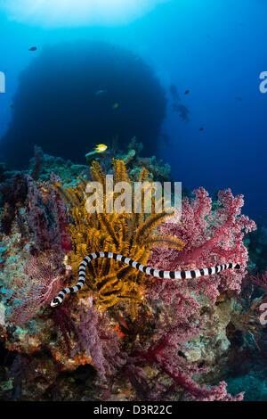 Die gebändert Meer Krait oder gelb-lippige Meer Krait, Laticauda Colubrina, ist eine gemeinsame Venoumous Seeschlange - Stockfoto