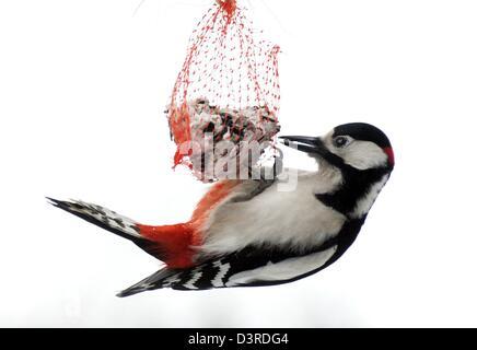 Leipzig, Deutschland. 22. Februar 2013. Ein Buntspecht (Dendrocopos großen) feeds aus einer Vogel-Knödel in einem - Stockfoto