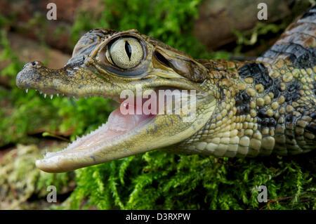 Kaiman / Caiman Crocodilus - Stockfoto