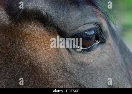 Pferdeauge und Kopf in Nahaufnahme, blaues Auge auf einem dunklen Morgan Pferd, flachen DOF. - Stockfoto