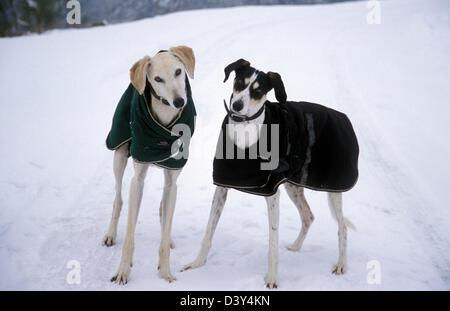 zwei retten Windhund-Lurcher überqueren Hunde im Wintermäntel im Schnee - Stockfoto