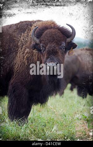 Landwirtschaftlich genutzten Ebenen Bison, Alberta, Kanada - Stockfoto