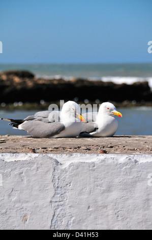 Zwei Möwen, die auf der Ufermauer an der Atlantikküste in Eassaouira, Marokko, sitzen Stockfoto