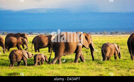 Afrikanische Elefanten Herde in Amboseli National Park, Kenia, Afrika - Stockfoto