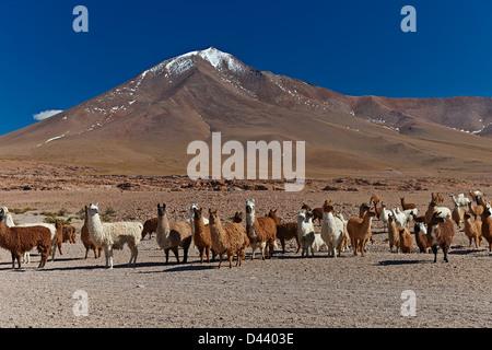 Lama (Lama Glama) auf dem Altiplano in Bolivien Südamerika - Stockfoto