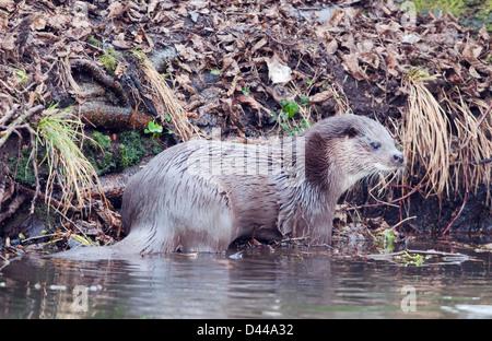 Wilde europäischer Fischotter Lutra Lutra am Ufer des Flusses in Norfolk - Stockfoto