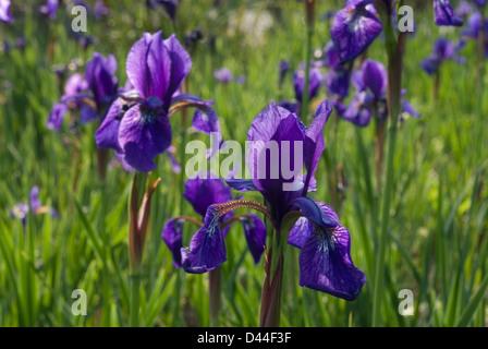 Iris SP., Iridaceae - Stockfoto