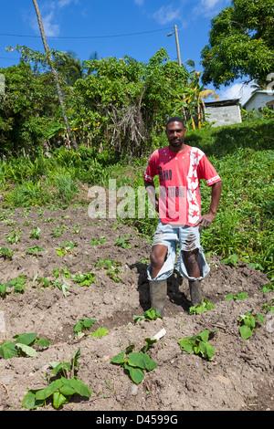 Bauer aus St. Lucia arbeitet an seiner kleinen Zuteilung und Anbau von Kartoffeln - Stockfoto
