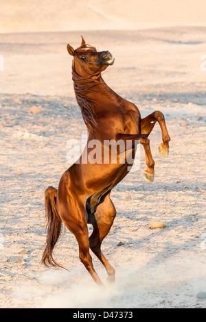 Reinrassige Araber. Fuchshengst Aufzucht in der Wüste - Stockfoto