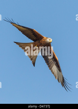 Rotmilan (Milvus Milvus) erhebt sich gegen den klaren blauen Himmel in Mid Wales. - Stockfoto
