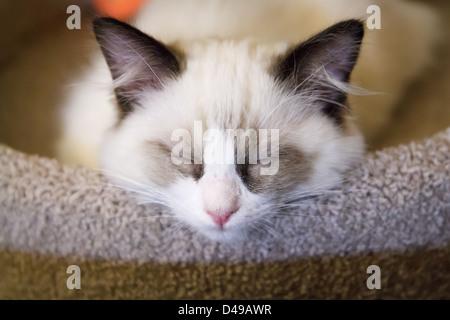 Ein kleines weißes Ragdoll Kätzchen schlafend auf einem Kratzbaum - Stockfoto