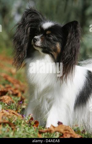 Papillon Hund / Continental Toy Spaniel Schmetterling Hund adult Porträt Profil - Stockfoto