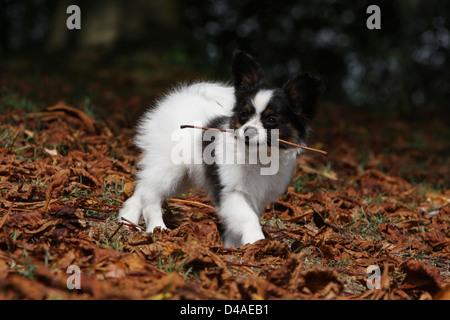 Papillon Hund / Continental Toy Spaniel Schmetterling Hund Welpen zu Fuss mit einem Stock im Maul - Stockfoto