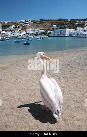 Petros ein Weißer Pelikan (Pelecanus onocrotalus), das offizielle Maskottchen von Mykonos, am Strand von Chora - Stockfoto