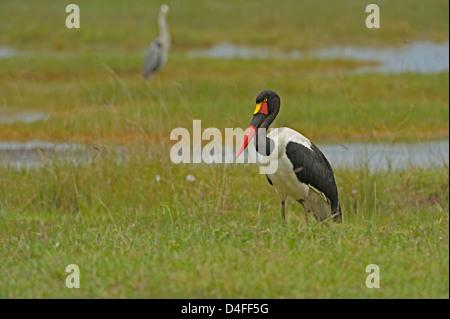 Sattel – abgerechnet Stork (Nahrung Senegalensis) in den Feuchtgebieten des Lake Nakuru Nationalpark, Kenia - Stockfoto