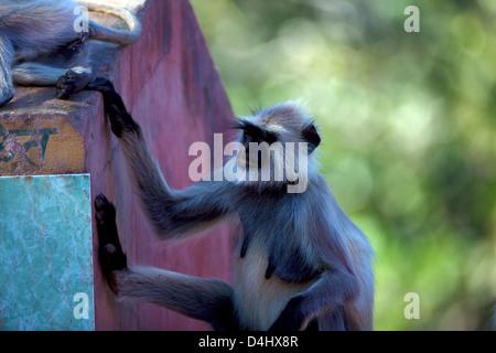 Hanuman Langur (Semnopitheaus Entellus) Hanuman Langur (Semnopitheaus Entellus) - Stockfoto