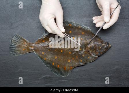 Wissenschaftler, die Schneiden von frischem Fisch auf Tisch - Stockfoto