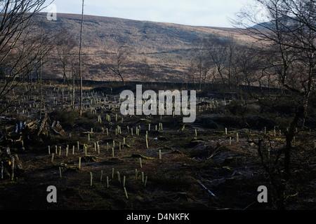 Laubbäume gepflanzt gefällt löschen Macclesfield Wald Cheshire England - Stockfoto