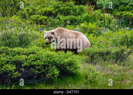 Weibliche (Sow) Grizzlybär (Ursus Arctos Horribilis), mit jungen, Sable Pass, Denali National Park, Alaska, USA - Stockfoto