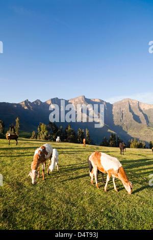 Herden Weiden in der Nähe des Dorfes Amiwalka im Hochland von Äthiopien - Stockfoto