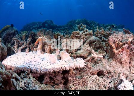 Beschädigt, gebleicht Platte Korallen Fungiidae nach Zyklon Yasi, Great Barrier Reef und Coral Sea Port Douglas, - Stockfoto