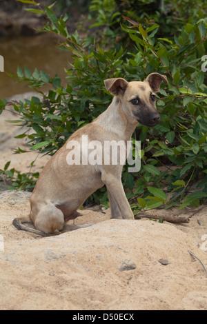 """Inländische Dorf """"Bush Dog"""" (Canis Lupus Familiaris). Hier in Guyana. Frei bis Hund Mischling Abstammung. - Stockfoto"""