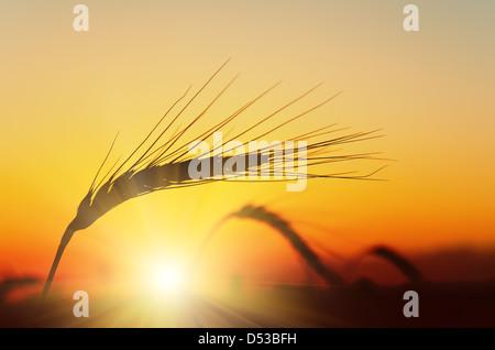 Goldener Sonnenuntergang über Weizenfeld - Stockfoto