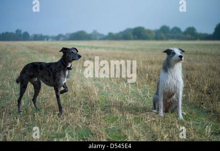 Lurcher Hunde, Buckden, Cambridgeshire, England Oktober 2012. Zwei aufmerksame Lurcher Hunde (Marley & Ruby) in - Stockfoto