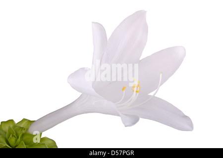 Blume Closeup oder Makro Hosta Pflanze zeigt Antheren und ...