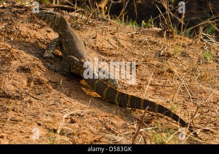 Nilwaran (Varanus Niloticus) - Stockfoto
