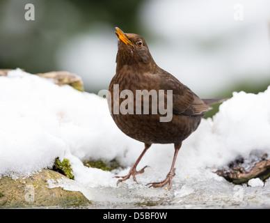 Nahaufnahme wie eine weibliche Amsel (Turdus Merula) singen beim stehen auf Schnee und Eis, Essex, England - Stockfoto