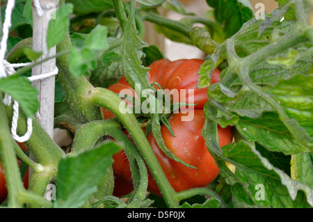 Nahaufnahme von roten Bio Marmande Tomaten (Solanum Lycopersicum) auf Reben im Garten wachsen - Stockfoto