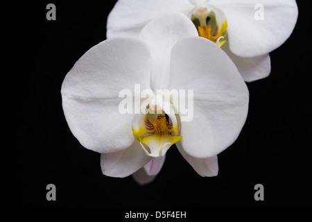 Phalaenopsis Orchideen-Hybriden und weiß Stockfoto, Bild: 93353433 ...
